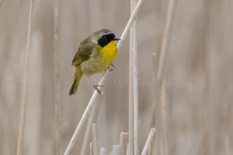Yellowthroat commun image libre de droits