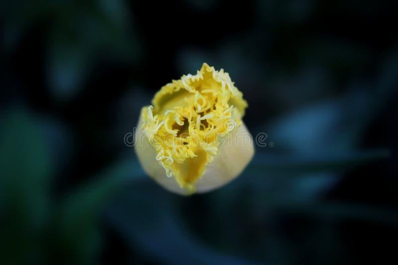 yellowtulip fotografering för bildbyråer