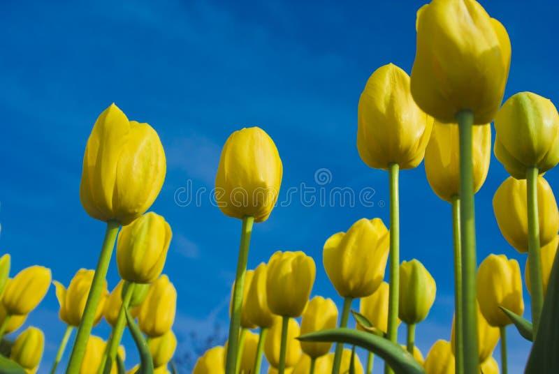 YellowTulips de encontro ao céu azul imagem de stock