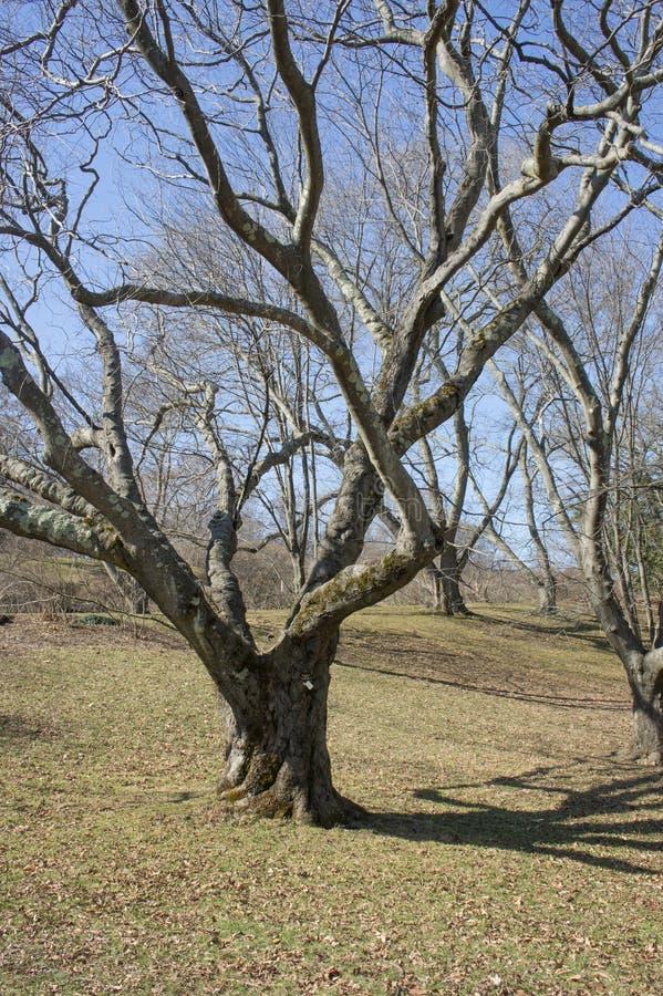 Yellowwood americano en Arnold Arboretum en primavera temprana fotos de archivo libres de regalías