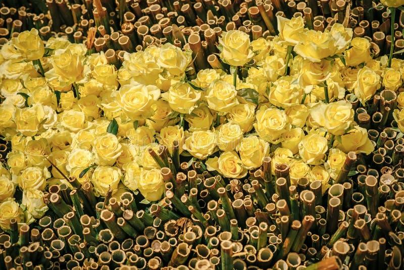 Yelow玫瑰 罗斯开花与黄色瓣和竹子在自然本底 免版税库存照片