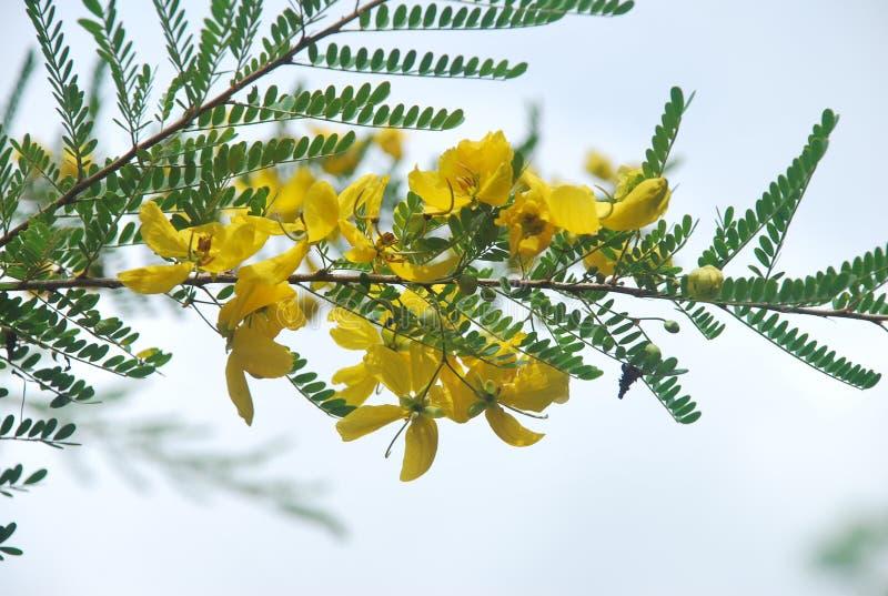 Yelow花,夺取在†‹â€ ‹乡区巴拿马的省 库存图片