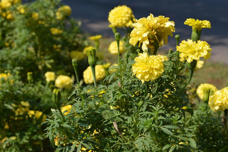 Yelow flowers. Some beautiful yelow flowers at the street royalty free stock images