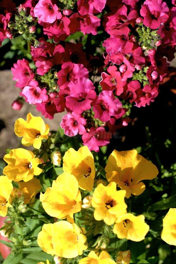 Yelow i różowych nemesia kwiatów zamknięty up fotografia stock