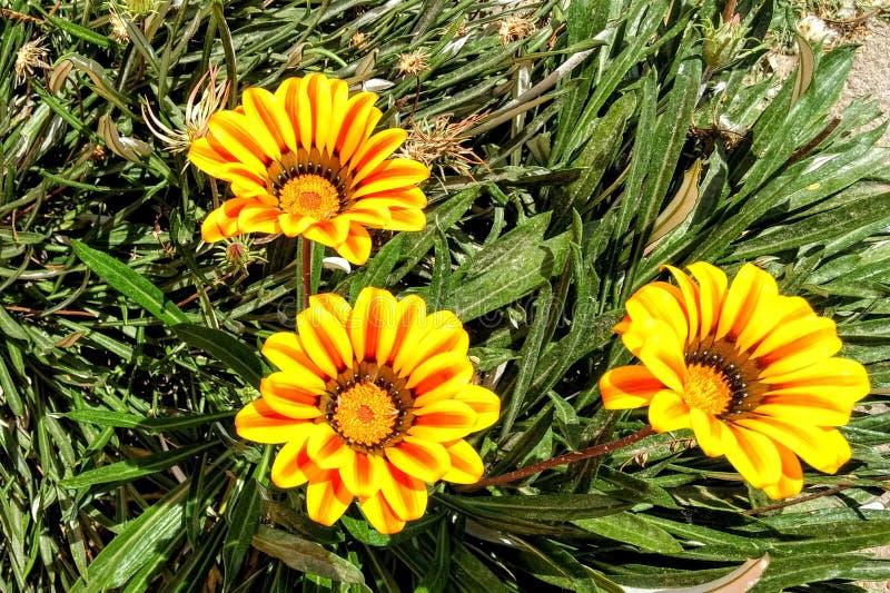 Yelow kwiat obraz royalty free