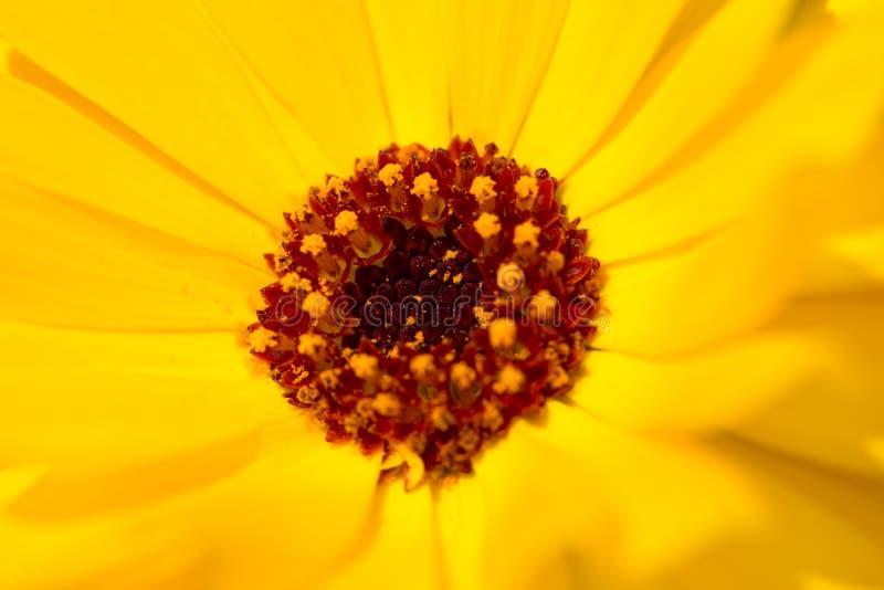 Yelow kwiatu zakończenie up zdjęcia royalty free