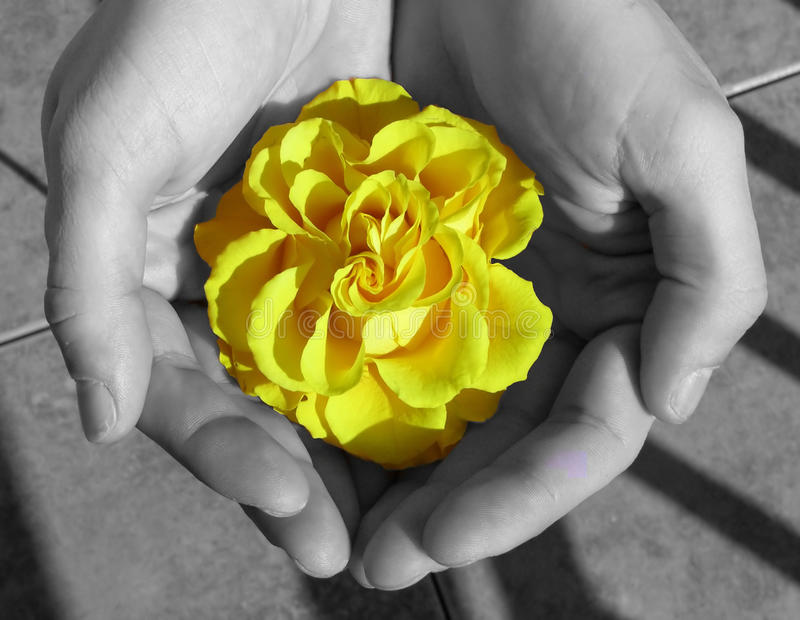 Yelow rose flower in hand stock images