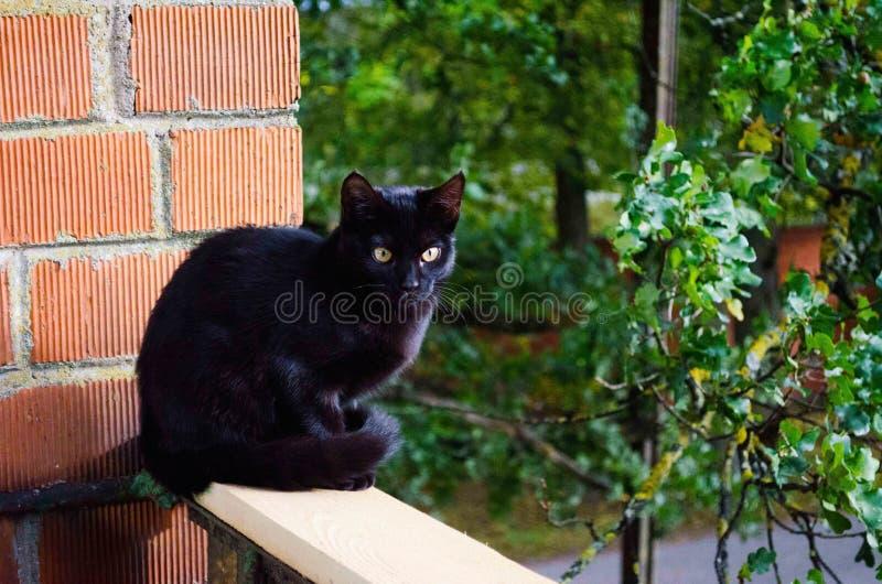 Yelow y ojos azules del color Gato negro y hermoso Nica, Letonia imagen de archivo libre de regalías