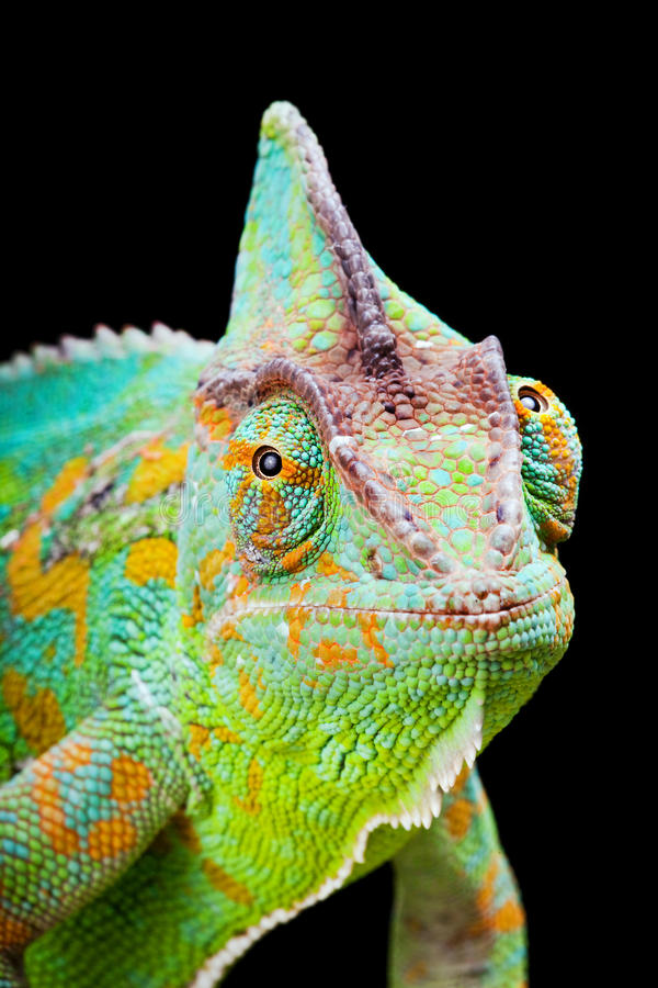 Download Yemen Chameleon stock image. Image of lizards, iguana - 12140537
