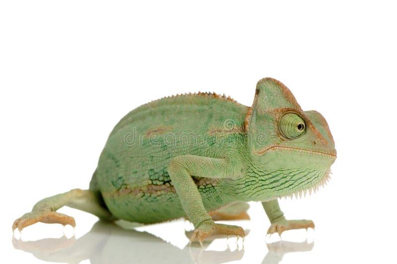 Download Yemen Chameleon Stock Images - Image: 2313814