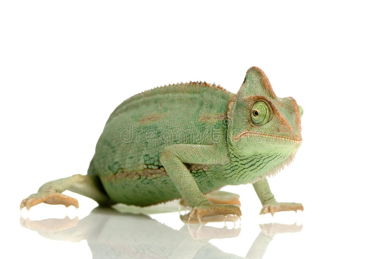 Download Yemen Chameleon Royalty Free Stock Images - Image: 2313819