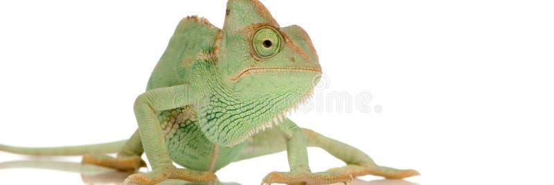 Download Yemen Chameleon Royalty Free Stock Image - Image: 2313856
