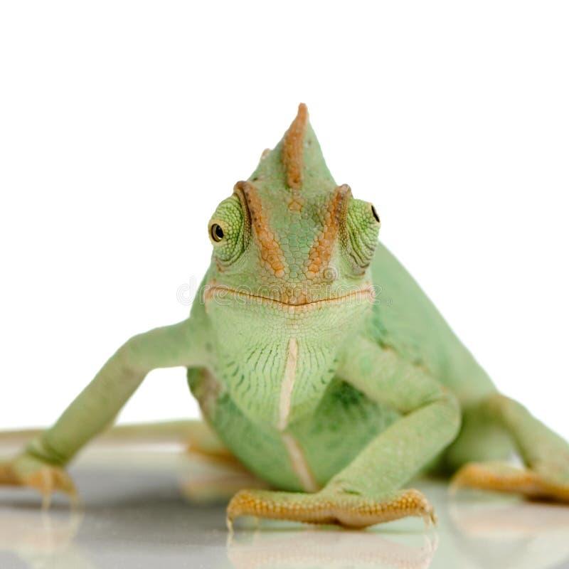 Download Yemen Chameleon stock image. Image of slow, camouflage - 2313883