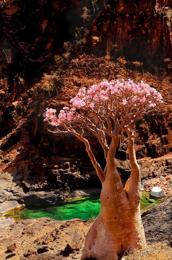 yemen Het Eiland Socotra Endemisch - flessenboom in het midden van het bloeien in hun natuurlijke habitat in de bergen stock fotografie
