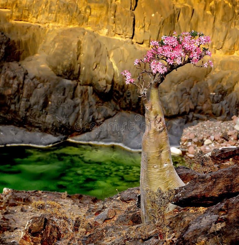 yemen Socotra Árbol endémico de la botella en la floración fotografía de archivo