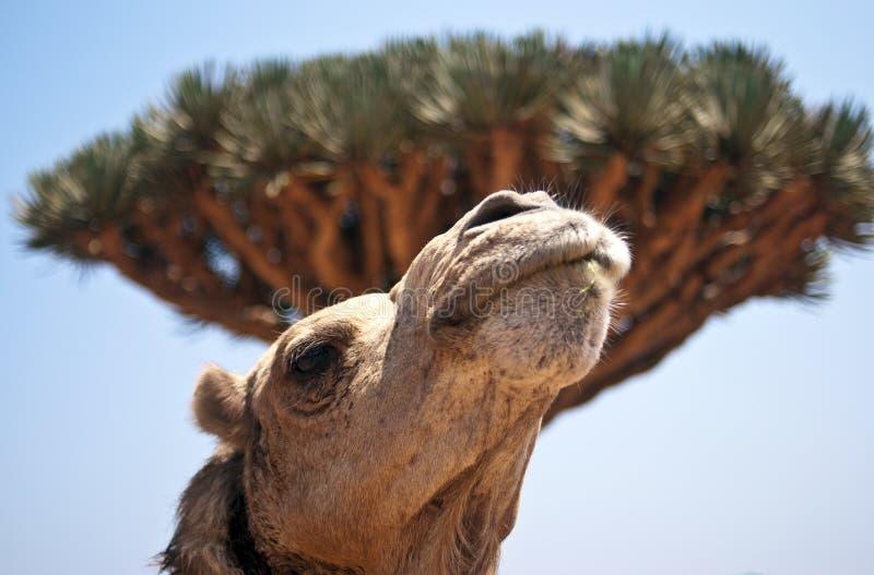 Yemen Socotra stock afbeelding