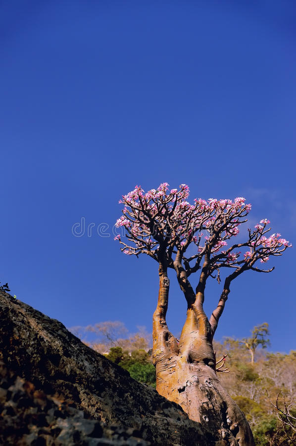 Yemen. Socotra. Flowering bottle tree with pink flowers royalty free stock photo