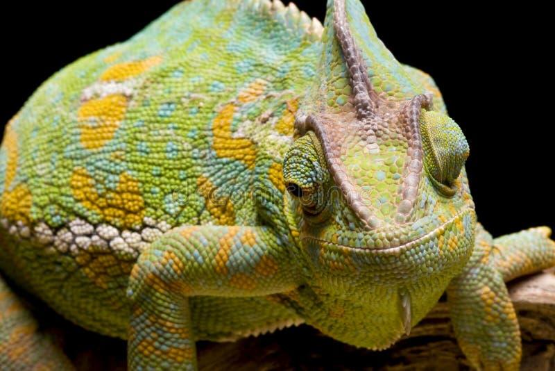 Download Yemen/Veiled Chameleon stock image. Image of chameleon - 9859645