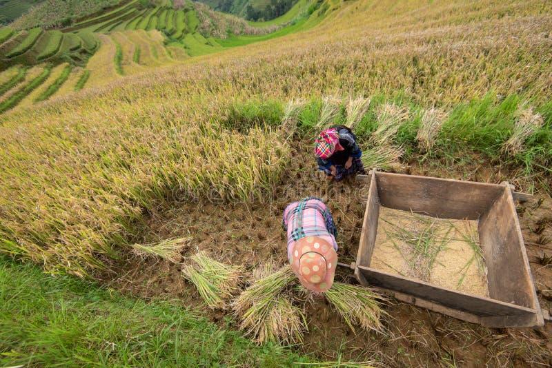 YEN BAI VIETNAM - September 14, 2016: Kvinnor för H 'Mong skördar vid traditionell metod på terrasserad risfält i Mu Cang Chai royaltyfri bild