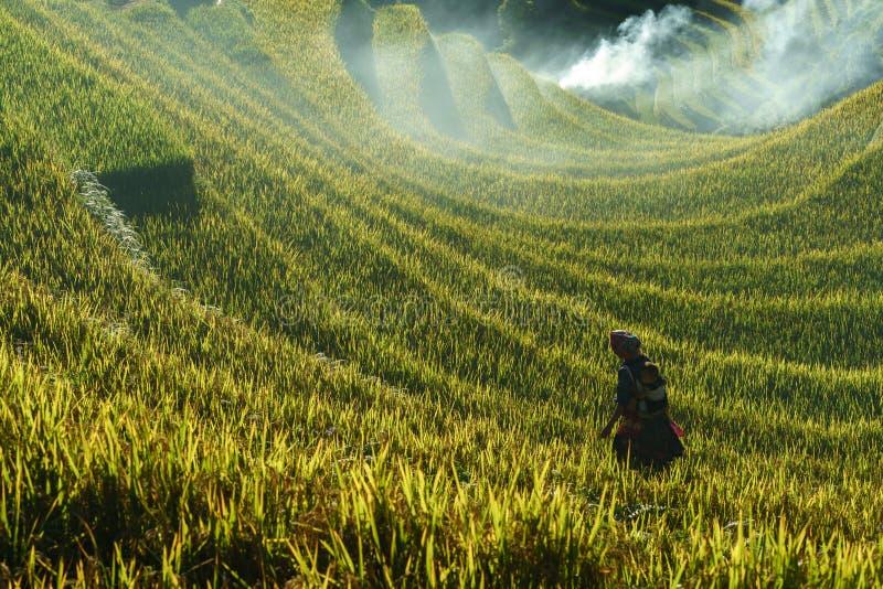 Yen Bai, Vietnam - 18. September 2017: Terassenförmig angelegtes Reisfeld in der Erntezeit mit Frau der ethnischen Minderheit auf lizenzfreies stockbild