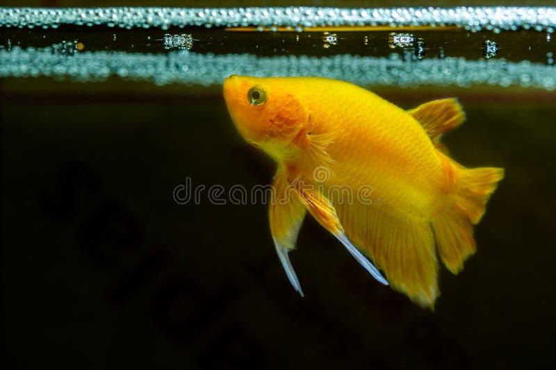 yeoolow Betta fish Halfmoon Betta beautiful fish royalty free stock photo
