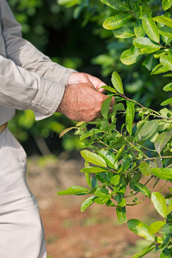 yerba伙伴种植园 库存图片