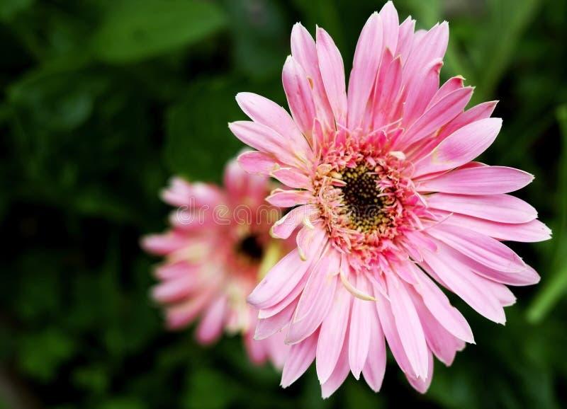 Yerbera rosado que florece en jardín fotos de archivo