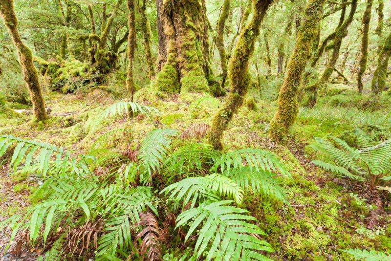 Yermo de la selva tropical de la Virgen de Fiordland NP NZ fotos de archivo
