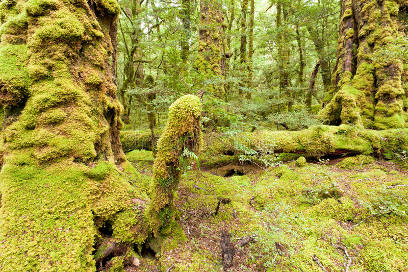 Yermo de la selva tropical de la Virgen de Fiordland NP NZ imagen de archivo libre de regalías