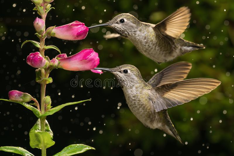 Yes! We are twins. Two hummingbirds visit pink flowers in raining day royalty free stock photos