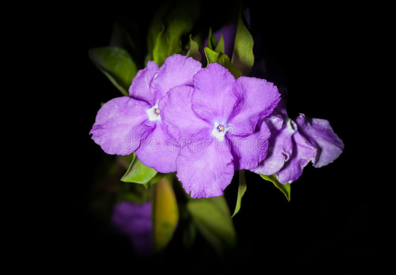 Yesterday Today and Tomorrow flower. The Yesterday Today and Tomorrow flower or Brunfelsia americana L royalty free stock photos