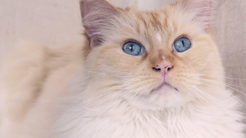 Yeux bleus Cat Looking Around banque de vidéos