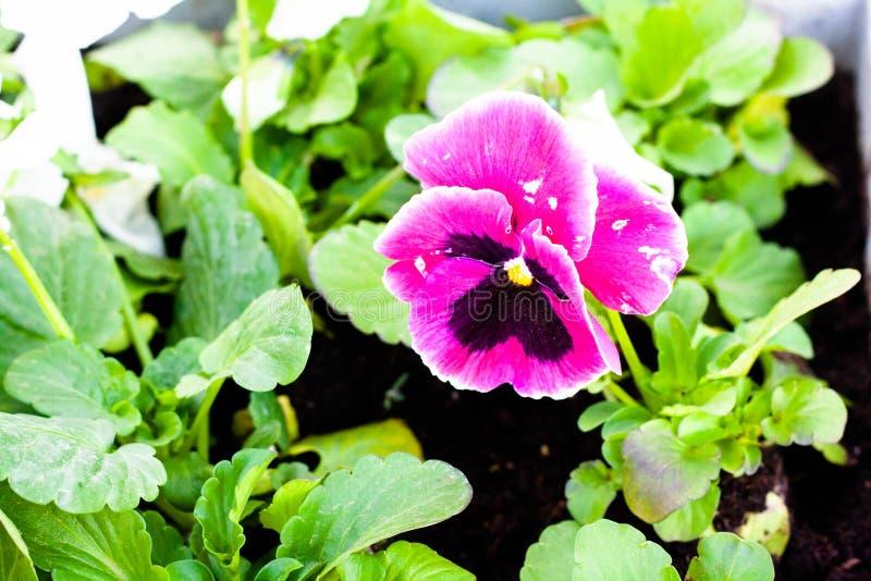 Yeux bleus dans le lit de fleur images libres de droits