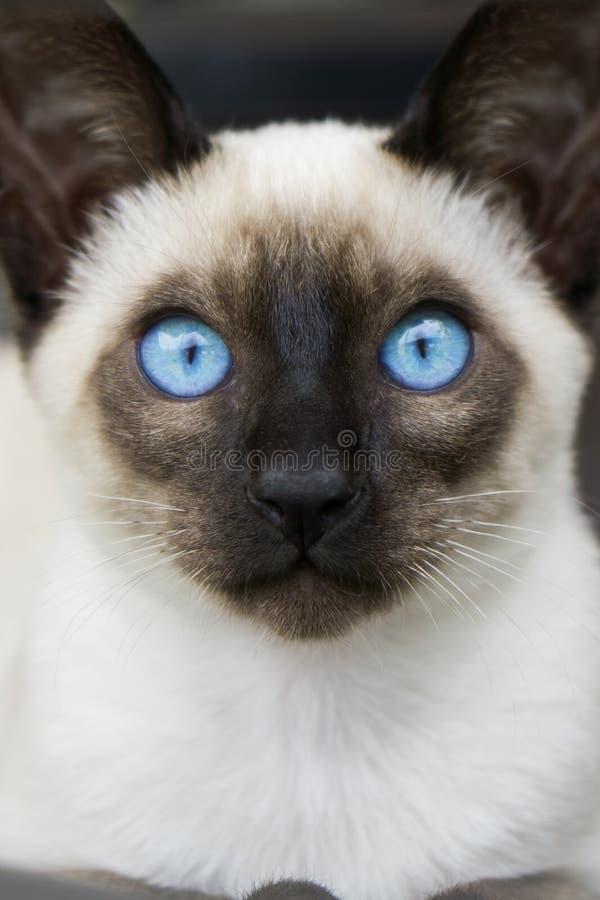 Yeux bleus siamois de chaton photo libre de droits