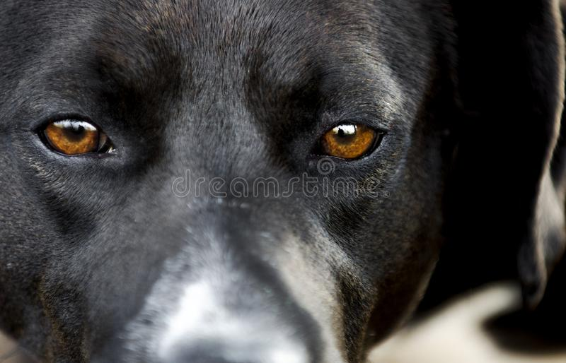 Yeux bruns tristes de chien noir dans le refuge pour animaux photos stock