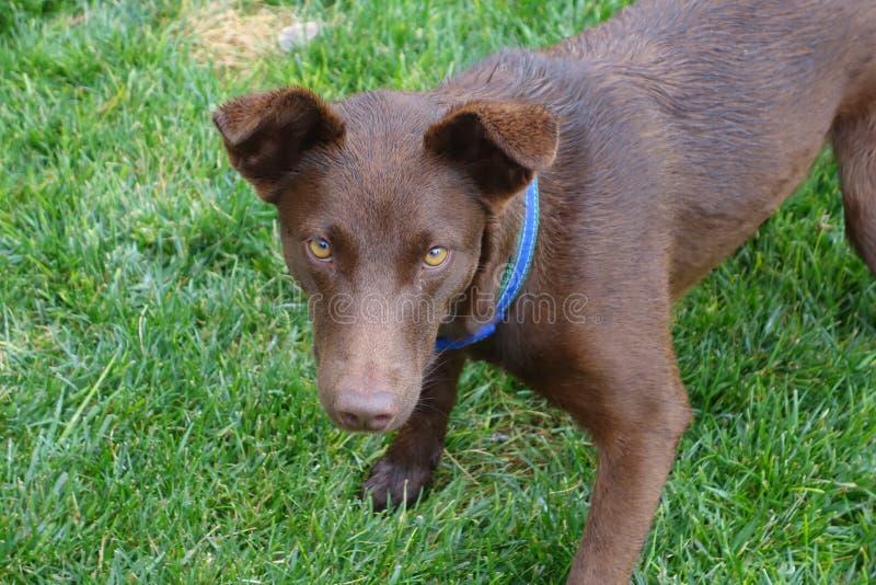 Yeux de chien jaune photo libre de droits