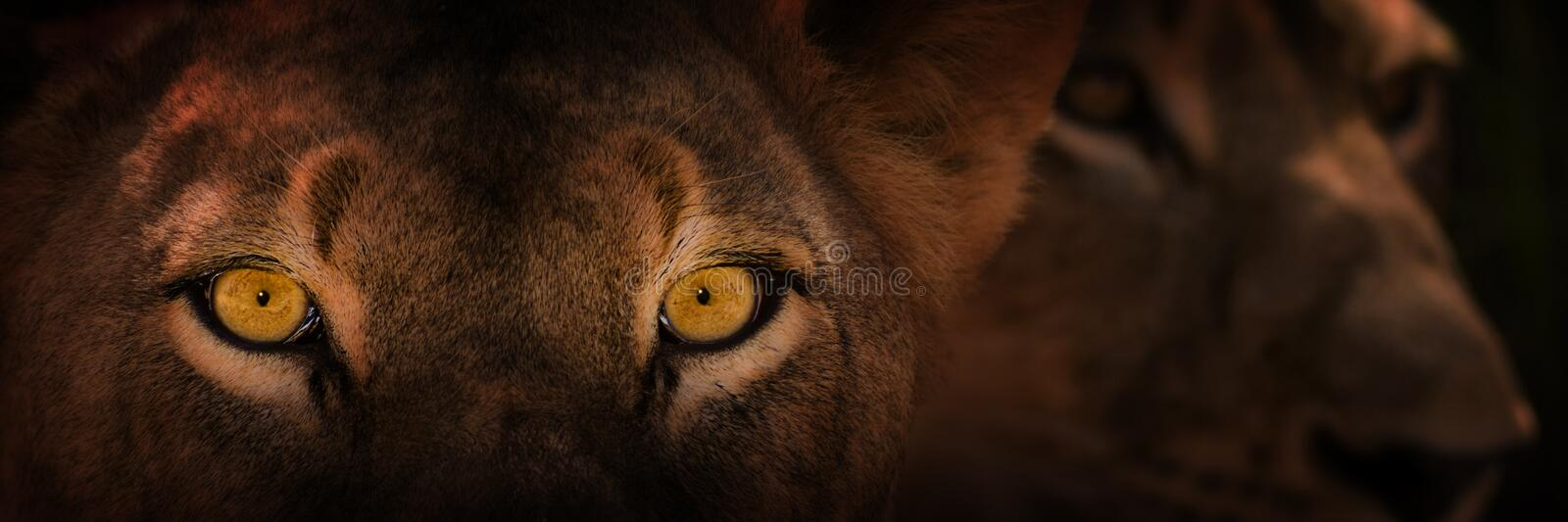 Yeux de lion de regarder photos stock