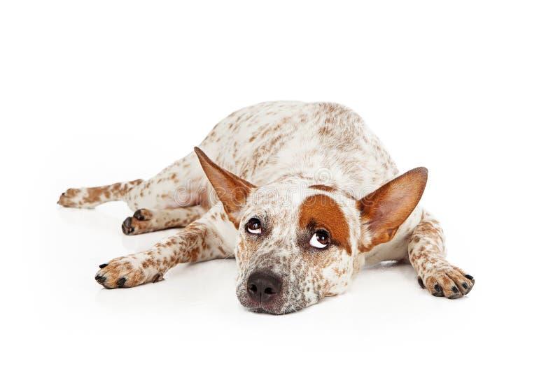Yeux de roulement de race mélangés par chien de Catte images stock