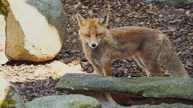 yeux magiques de jeunes renards photo stock