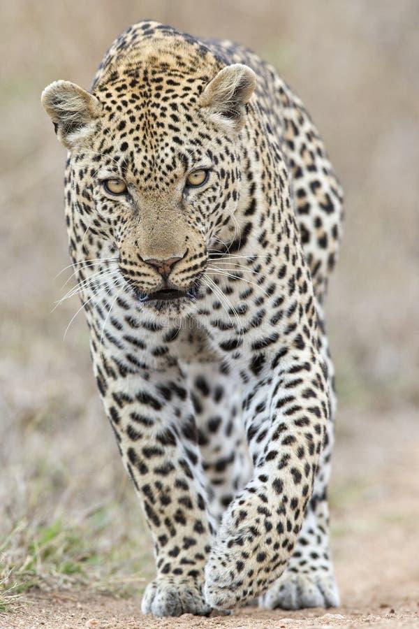 Yeux piercing d'un léopard image libre de droits