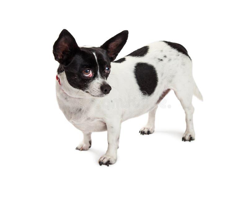 Yeux timides de petit chien recherchant images stock