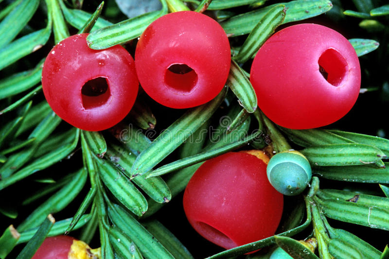 Yew berries stock images