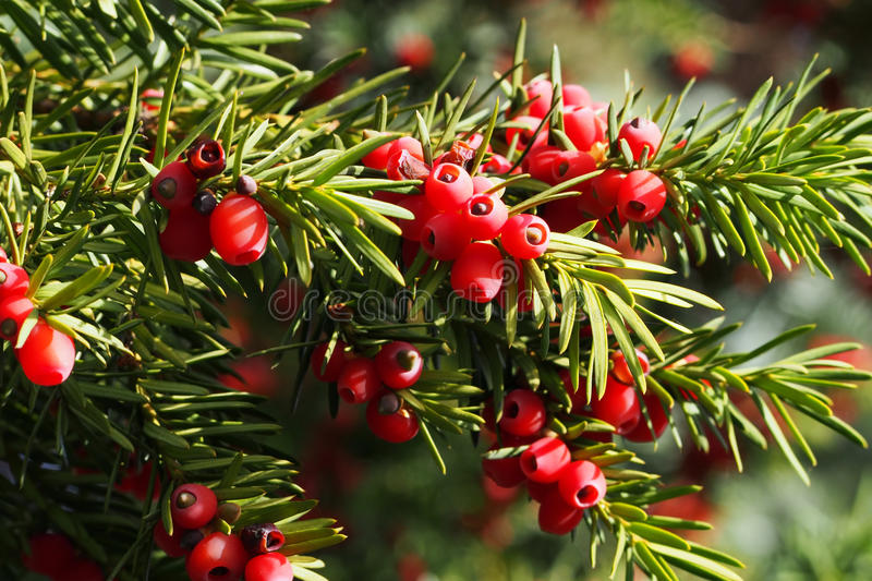 Yew branch with berries royalty free stock photos