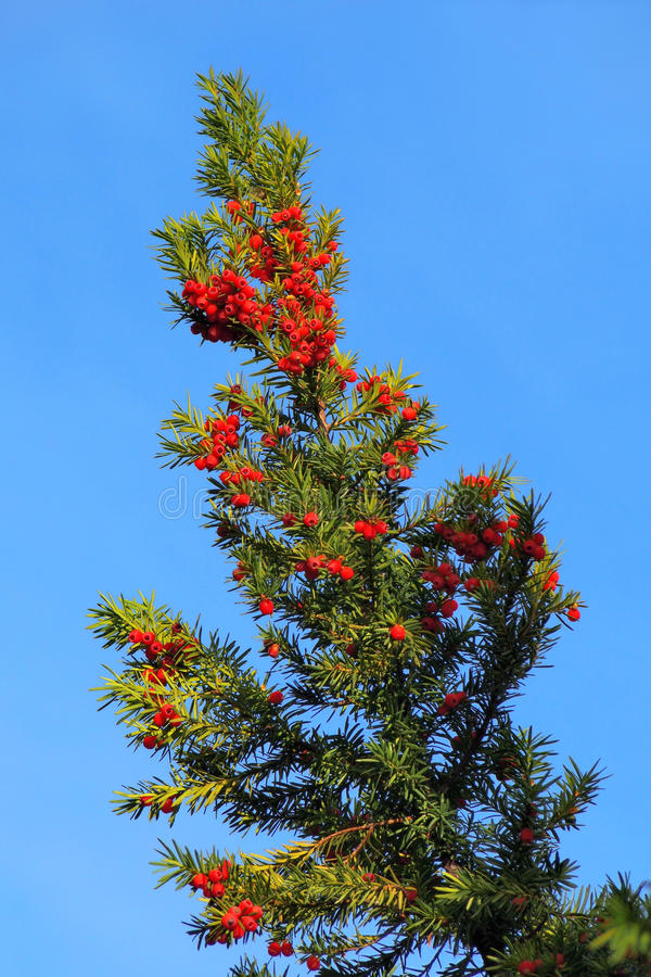Yew branch with berries royalty free stock images