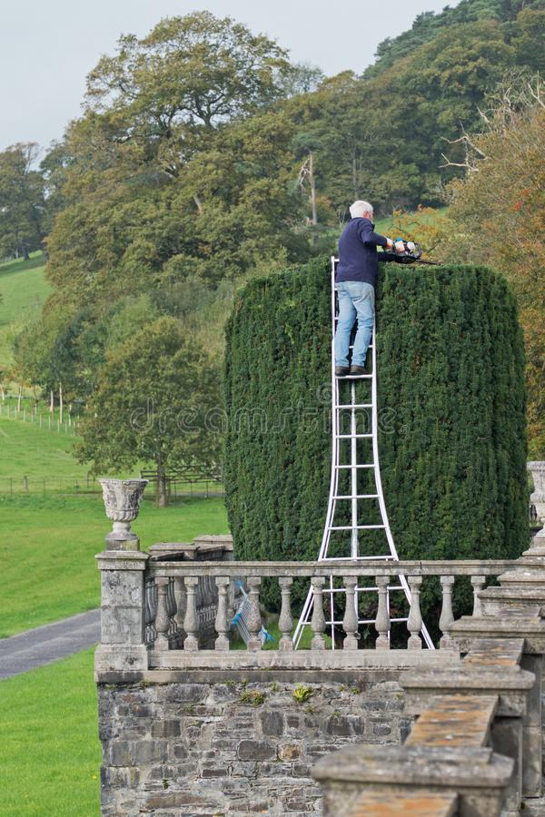 Yew tree being trimmed as garden décor UK stock photography