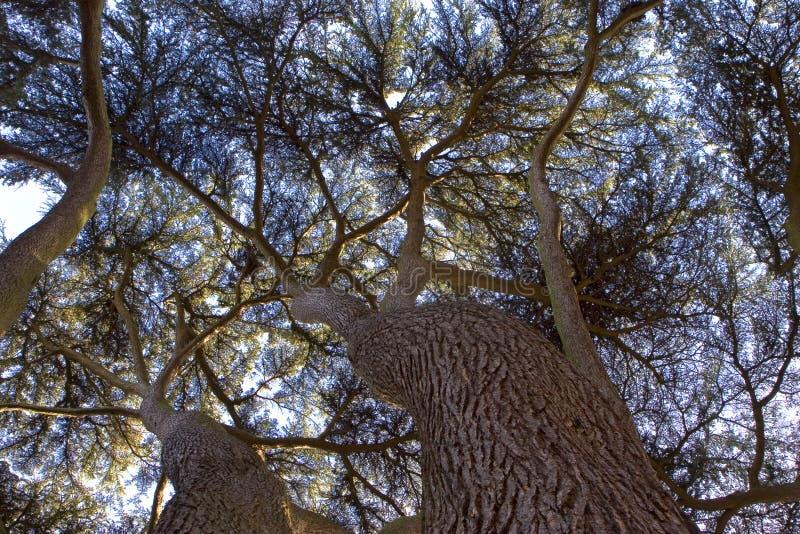 Yew Tree Canopy stock photography