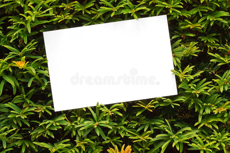 Yew tree topiary border royalty free stock images