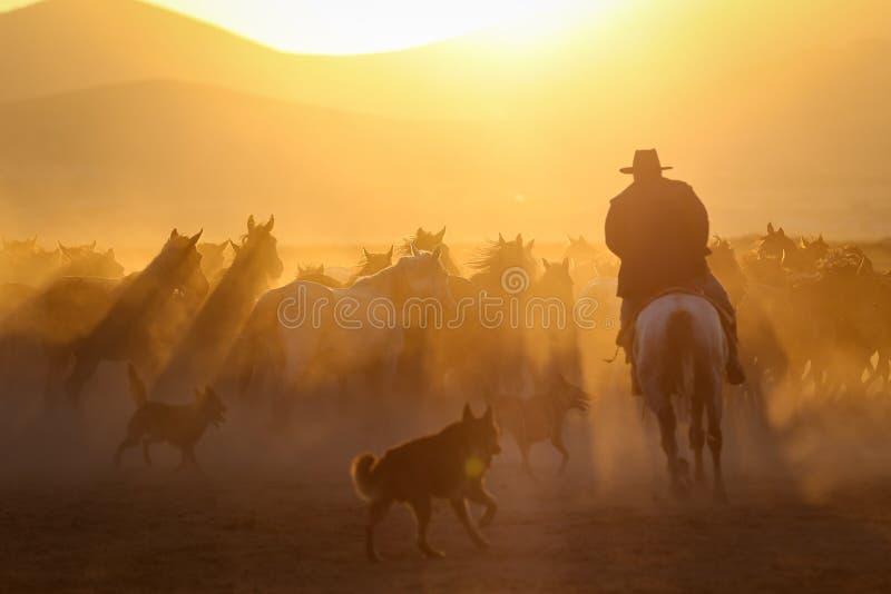 Yilki Horses Running in Field, Kayseri, Turkey royalty free stock images