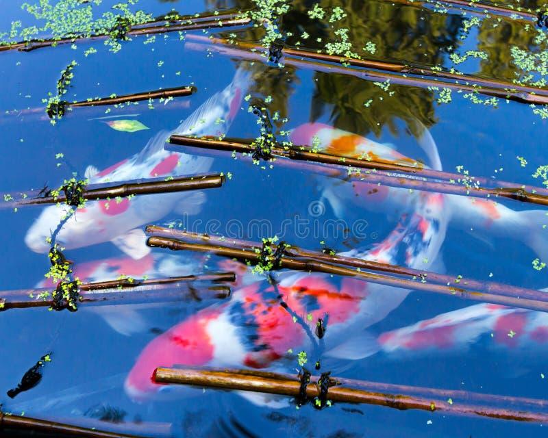 Yin | Yang Koi Fish imagem de stock