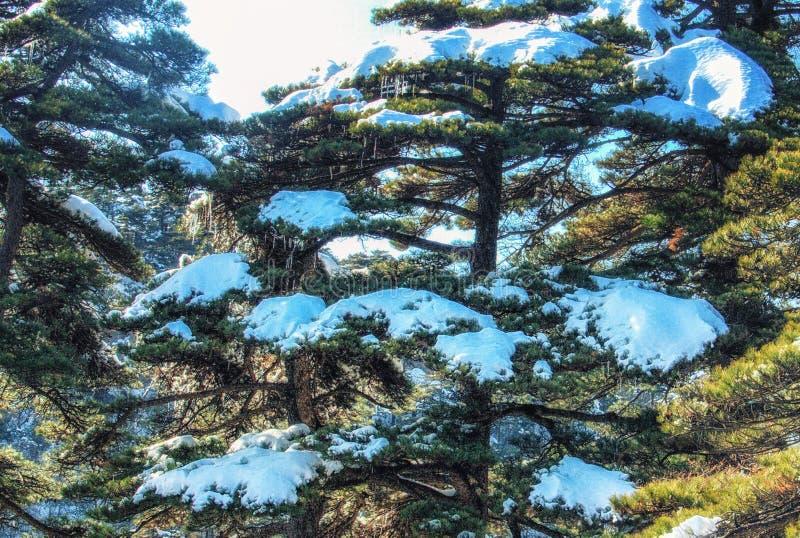 Ying Ke Pine royaltyfria bilder